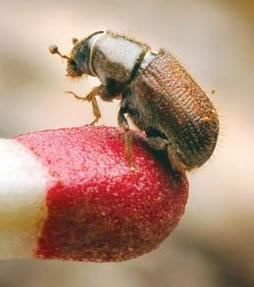 Firewise-Madera-County-Mountain-Pine-Beetle